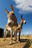 Two donkeys Stock Images
