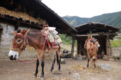 Two donkeys. This is donkey  for the mountain transport in Yunnan Province Stock Photo