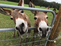Two donkeys. Farm stock images