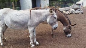 Two Donkeys. Two Beautiful Donkeys at the Farm stock video footage