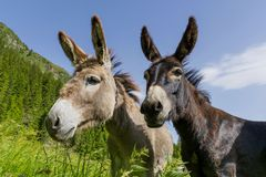 Free Two Donkeys Best Friends. Royalty Free Stock Images - 73282279