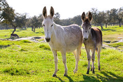 Two donkeys at countryside. Cute couple of donkeys at field Royalty Free Stock Images