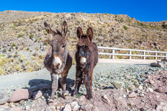 Two Donkeys Royalty Free Stock Photography
