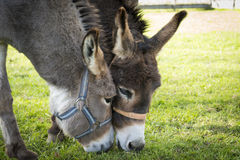 Two donkeys eating grass Stock Images