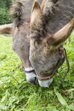 Two donkeys eating grass outdoor Stock Images