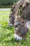Two donkeys eating grass. outdoor picture Stock Images