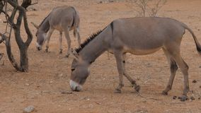 Two Donkeys Eating Up On The Red Sandy Soil Food, Arid African Desert. Two donkeys grazing close-up on red sandy earth, the arid African desert stock video footage