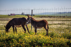 Two donkeys. Feeding on grass Stock Image