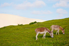 Two donkeys feeding on green grass. In the back - sand dune. Blue sky Stock Image
