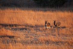 Two donkeys in a field. Two donkeys walking in a field in Kansas Stock Image