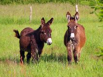 Two donkeys in a grass field Royalty Free Stock Images