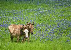 Two donkeys grazing on Texas bluebonnet pasture Stock Images