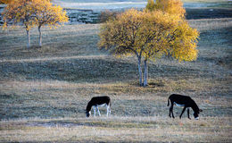 Two donkeys grazing under a birch tree on the prairie Stock Photos