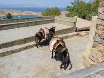 Two donkeys in greece. Stock Image