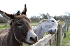 Two donkeys Stock Photography