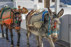 Two donkeys on the island of Santorini. stock photo