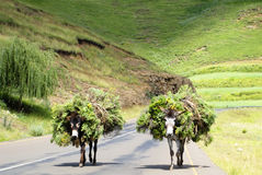 Two Donkeys. Loaded with Wild Flowers on a Road in Southern Africa Stock Images