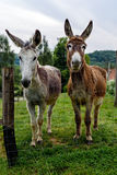 Two donkeys looking into the camera Stock Images
