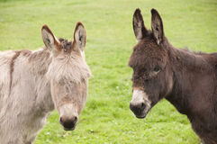 Two donkeys looking at you Stock Photo