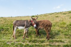 Two donkeys on a meadow, juxtaposed, bizarre framing, interesting idea. Rural pasture in Romania, green grass Royalty Free Stock Images