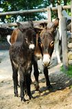 Two donkeys mother and baby. Young baby donkey with mother Royalty Free Stock Photography