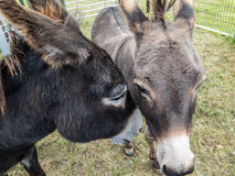 Two donkeys nuzzle together. Royalty Free Stock Photography