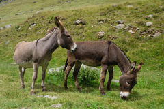 Two donkeys. Out greazing outdoors Stock Image