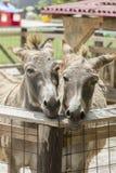 Two donkeys Stock Image