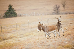Two donkeys on the run Royalty Free Stock Image