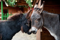 Two Donkeys Snuggling Royalty Free Stock Photos