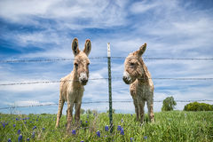 Two donkeys on spring pasture Royalty Free Stock Photo