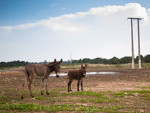 Two donkeys stand on the grass. Against the sky Stock Image