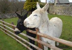 Two Donkeys stood in a field Stock Image