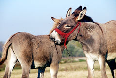 Two donkeys in  touch Stock Photos