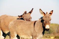Two donkeys Royalty Free Stock Photos