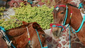 Two Donkeys Waiting the Arrival of Tourists. Close-up shot featuring two donkeys waiting the arrival of tourists for the popular rides in the Greek island of stock footage
