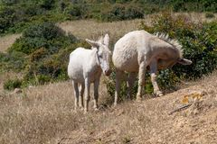 Two donkeys walking royalty free stock photography
