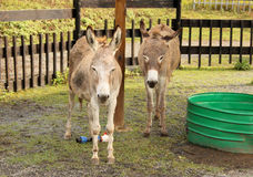 Two Donkeys in Zoo Royalty Free Stock Photos