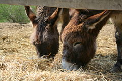Two donkies. Two brown domestic donkies eats straw Royalty Free Stock Photos