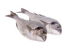 Two dorado fish isolated on white. Background Royalty Free Stock Photo
