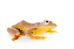 Two-dotted flying tree frog, Rhacophorus rhodopus, on white Royalty Free Stock Photos