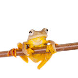 Two-dotted flying tree frog, Rhacophorus rhodopus, on white Stock Photos