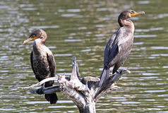 Two Double-Crested Cormorants Stock Photos