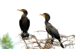 Two Double-crested cormorants in wetland Royalty Free Stock Image
