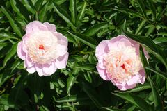 Two double-flowered light pink peonies in june Royalty Free Stock Image