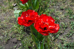 Two double red flowers of tulip in spring Royalty Free Stock Photo