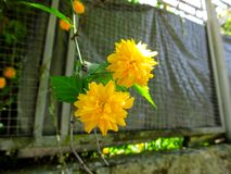 Two double yellow flowers of Kerria japonica `Pleniflora` isolated hang on a branch, close-up. Beautiful natural blurred background with selective focus royalty free stock photo