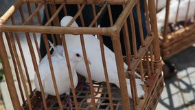 Two dove in a cage. Close-up stock footage