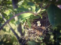 Close up a two little dove eggs in the nest. stock photography