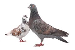 Two dove Stock Photography